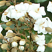 Harpulia fruitescens